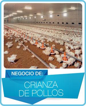 programas crianza de pollos